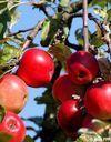 Tombez dans les pommes !