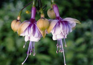 5 beaux fuchsias pour fleurir le jardin