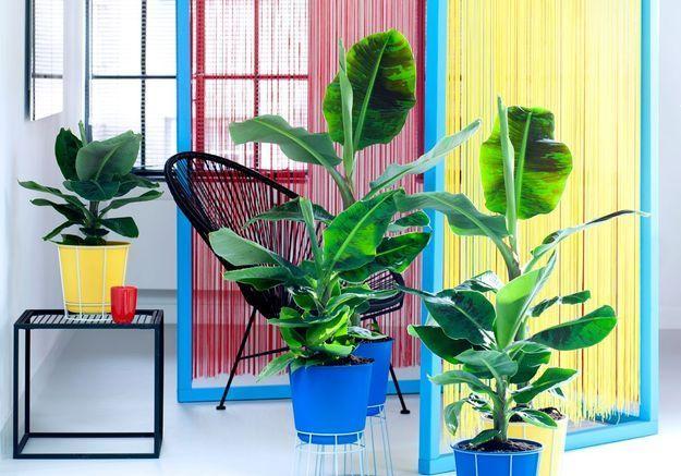 comment entretenir un bananier elle d coration. Black Bedroom Furniture Sets. Home Design Ideas