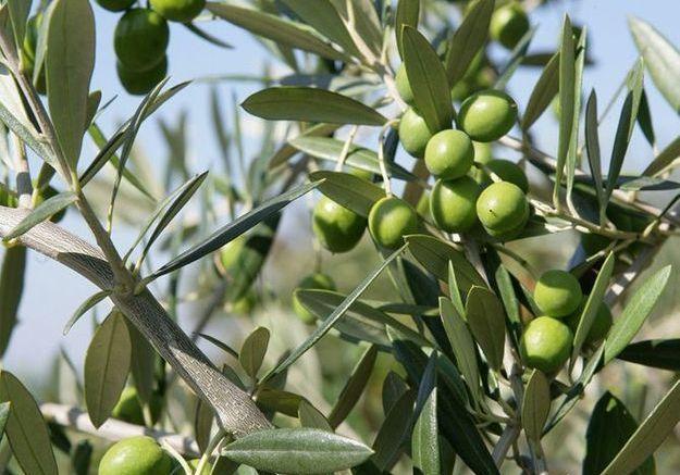 Les arbres fruitiers du sud de la France