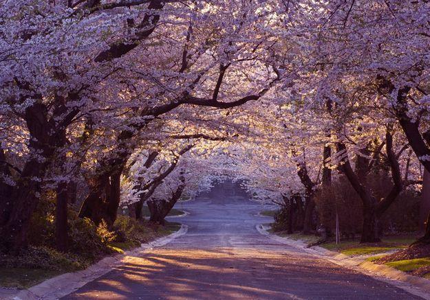 Pour la fête de Hanami, le Japon est recouvert de fleurs et c'est sublime