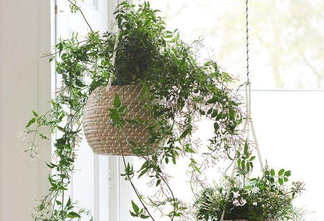 Zoom sur une plante résolument envoûtante : le jasmin