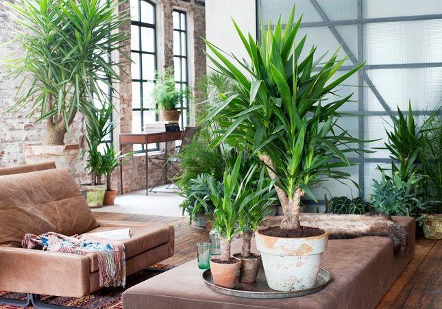 Zoom sur un plante résolument robuste : le Yucca