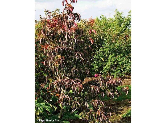 3. Pringreen (Quercus palustris)