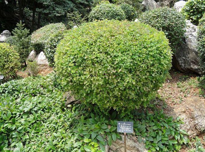 8. Arbuste Campylotropis macrocarpa