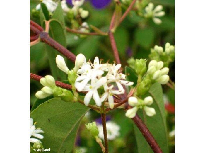 9. Arbuste Heptacodium miconioides