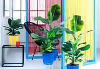 Zoom sur une plante résolument tropicale : le bananier