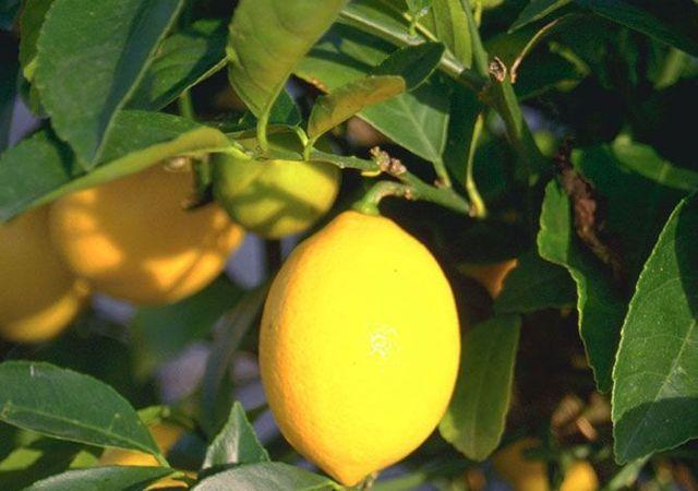 Citronnier citrus limon taille et conseils d 39 entretien elle d coration - Entretien d un citronnier ...