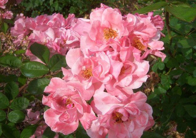 Rosier clair matin taille et conseils d 39 entretien for Decoration jardin rosier